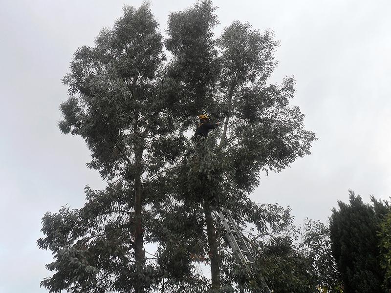 Large Eucalyptus tree needing removal.