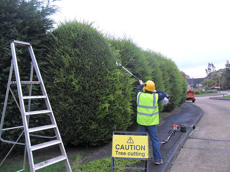 Start of job, pruning overgrown conifer trees.