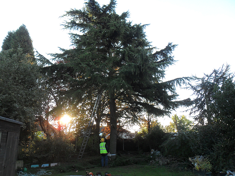 Removal of a Large Pine tree.